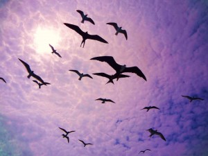 Frigate birds at sunset