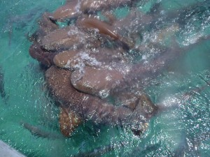 Nurse Sharks Feeding at Hol Chan