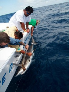 De-hooking a Caribbean Reef Shark.
