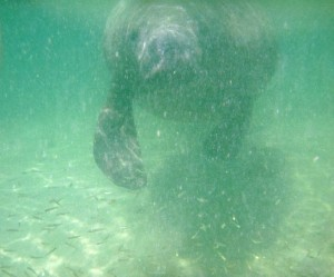 Up close and personal - manatee at the split!