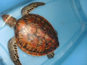 Green turtle after tar was removed
