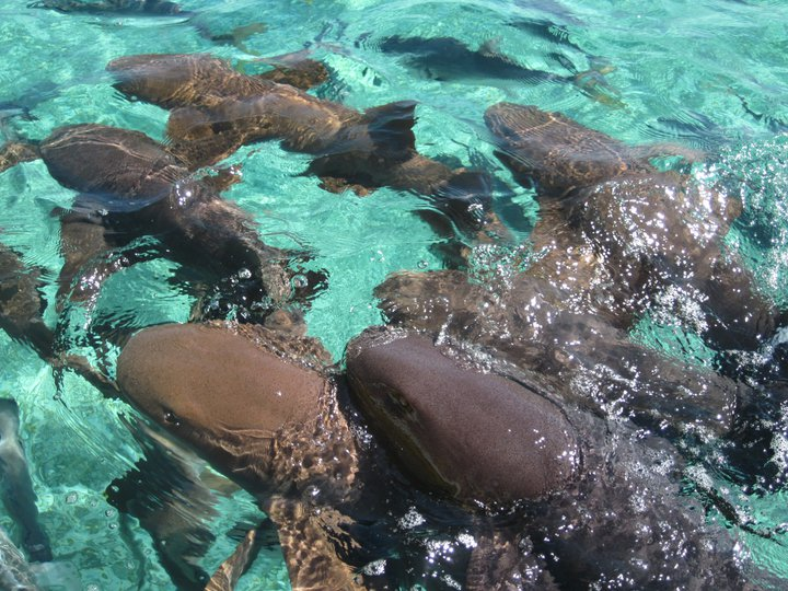 Nurse Sharks at Shark and Ray Alley