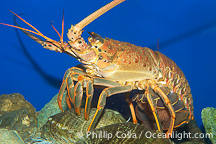Spiny Lobster underwater